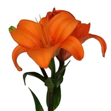 Asiatic Lily Bright Orange