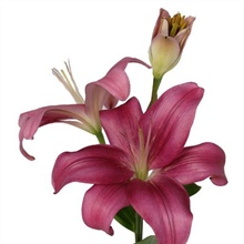 Asiatic Lily Dark Pink