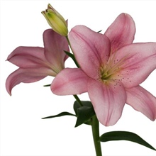 Asiatic Lily Light Pink