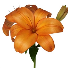Asiatic Lily Pale Orange