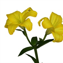 Asiatic Lily Yellow