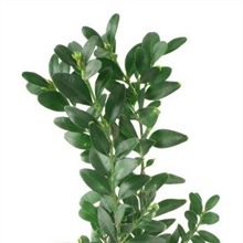 BUX100.Buxus General