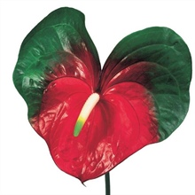 ANT206 Anthurium.Amigo(summer)