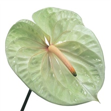 ANT257 Anthurium.Champagne