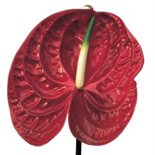 ANT259 Anthurium.Calisto